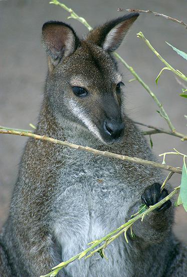 Недавно ребенок задал вопрос: А сумка у кенгуру есть и у мальчиков и у...